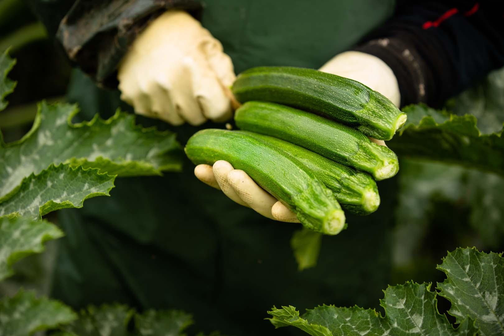 Mani che raccolgono zucchine