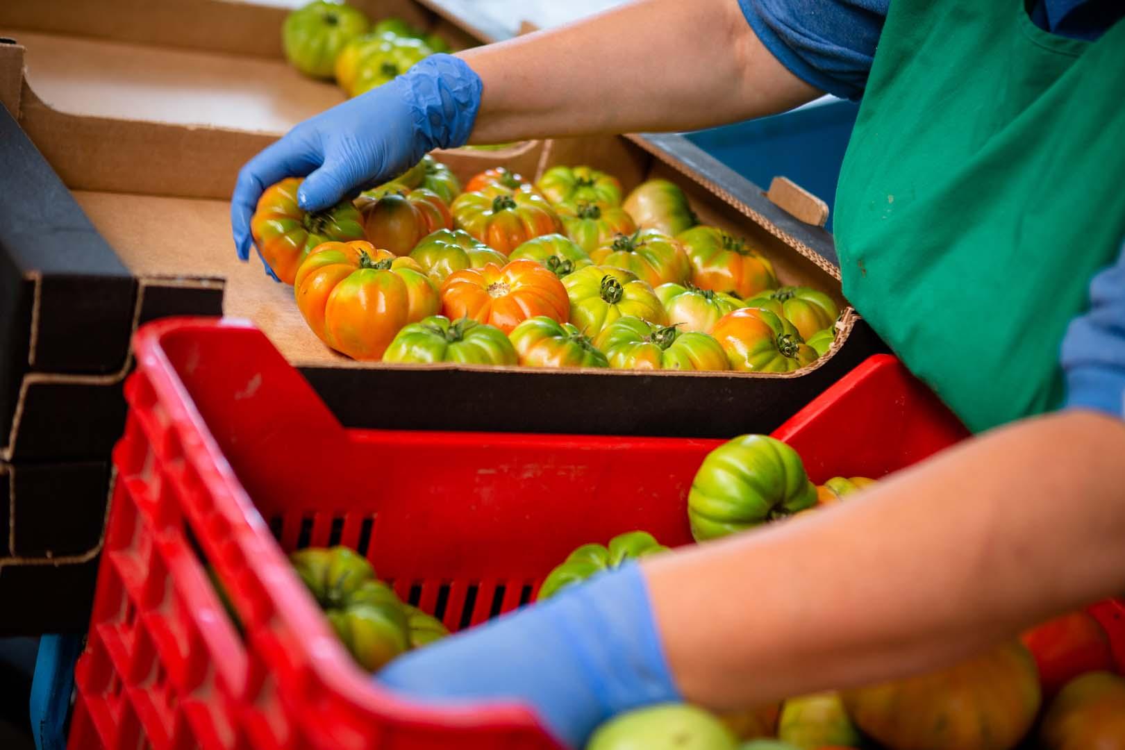 Selezione pomodori
